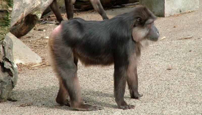 Estado de conservación de los macacos de Togian