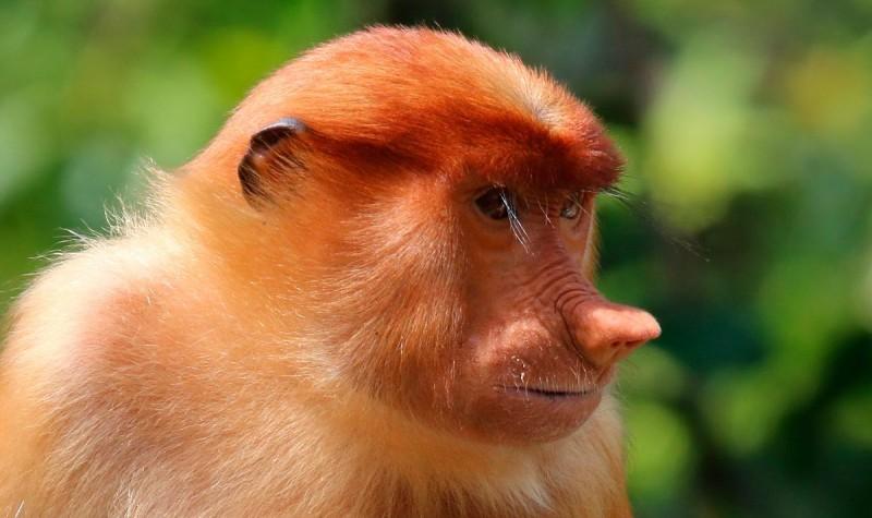 Estructura social de los monos narigudos