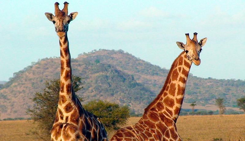 Evolución de la jirafa de Rothschild