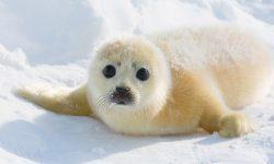 Foca polar