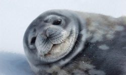 Foca de Weddell