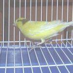 Fotos de canarios y periquitos
