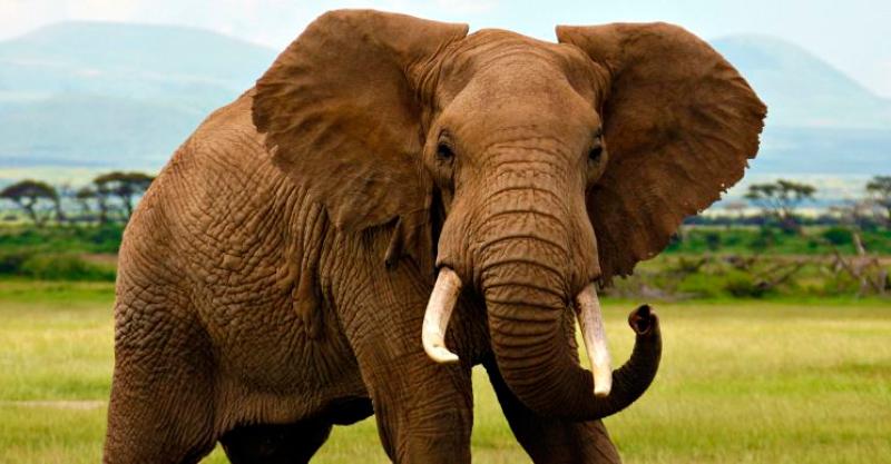 El elefante africano