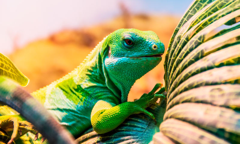 Fotos de iguanas