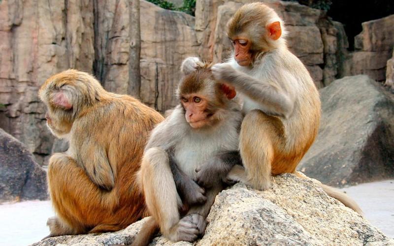 Fotos de macacos de Java