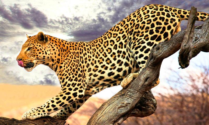 Fotos de leopardos y panteras