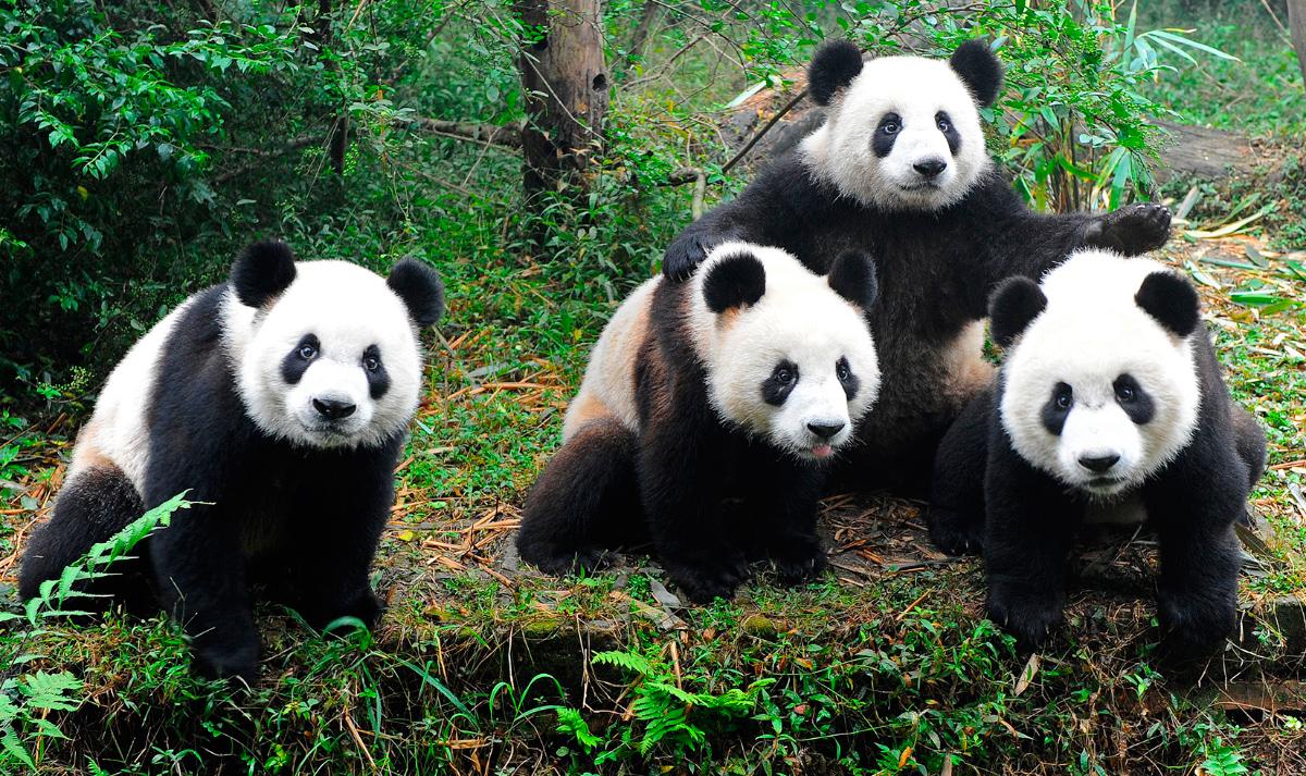 origen del oso panda