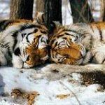 Fotos de tigres