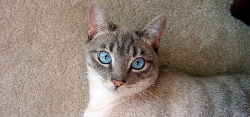 Gato Tonquinés
