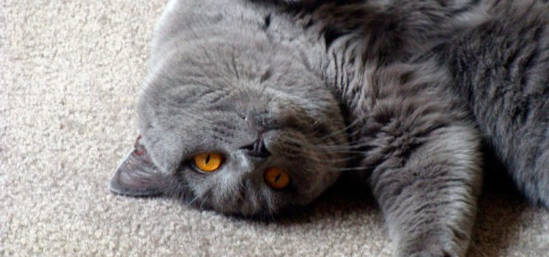 Gatos British Shorthair