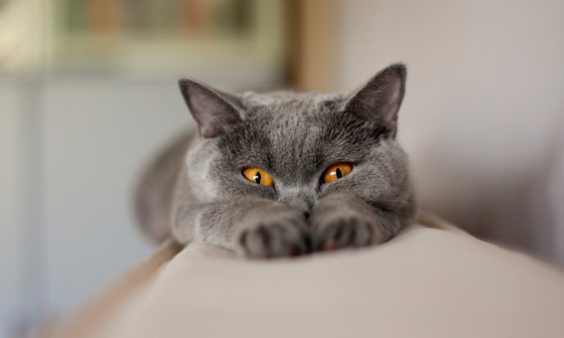 Gatos Chartreux