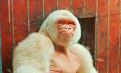 Gorila albino