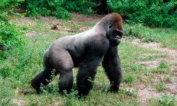 Gorila lomo plateado