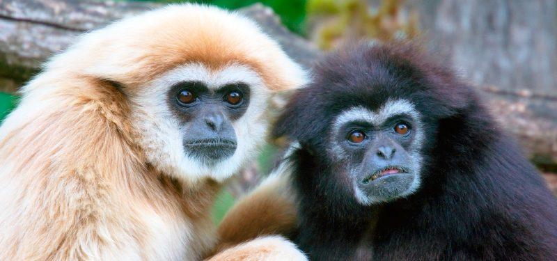 Grandes monos