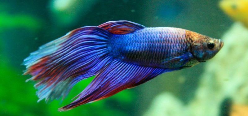 Guía de los peces Betta