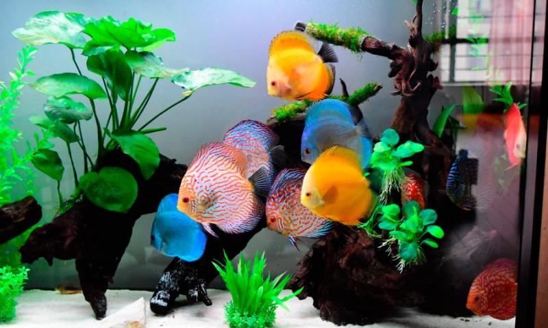 Guía de los peces disco