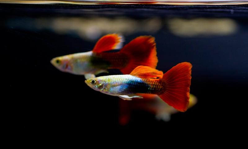 Guía de los peces Guppy