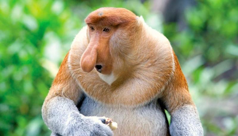 Hábitat y comportamiento de los monos narigudos
