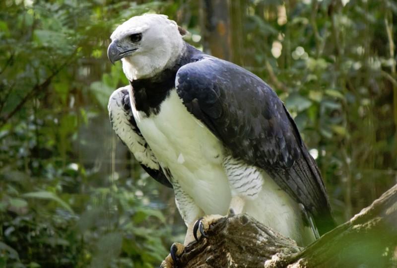 Resultado de imagen para Aguila arpía