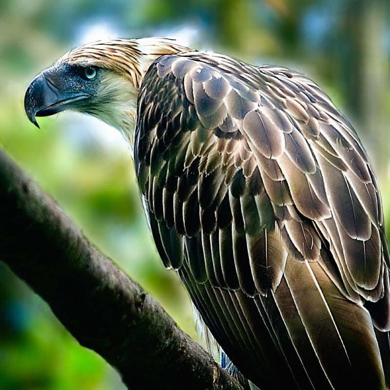 Hábitat del águila comemonos