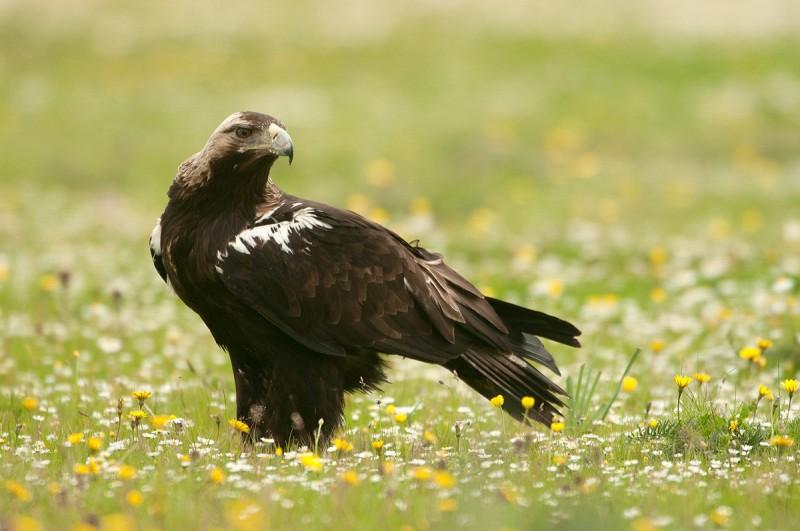Hábitat del águila imperial ibérica