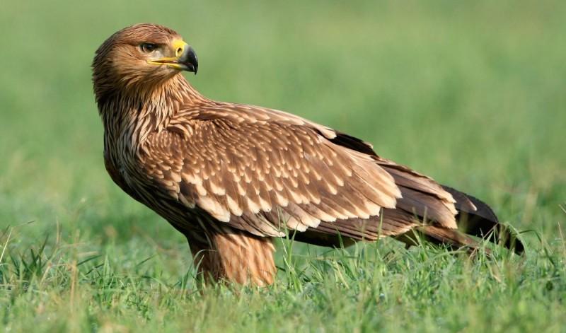 Hábitat del águila imperial oriental