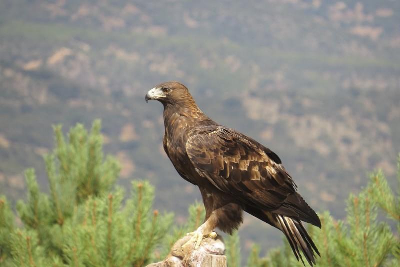 Hábitat del águila real