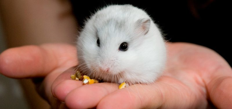 H mster ruso caracter sticas qu come d nde vive - Hamster russe panda ...