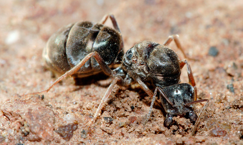 Hormigas reina