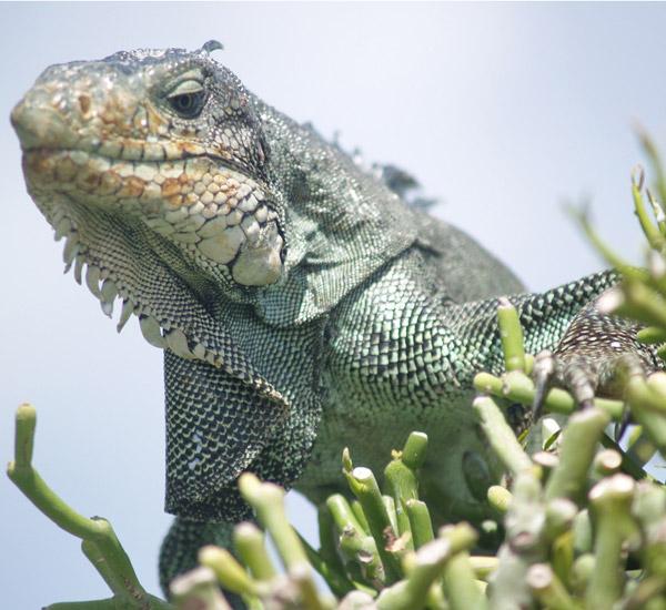 Las mejores FOTOS DE IGUANAS  Imgenes de iguanas