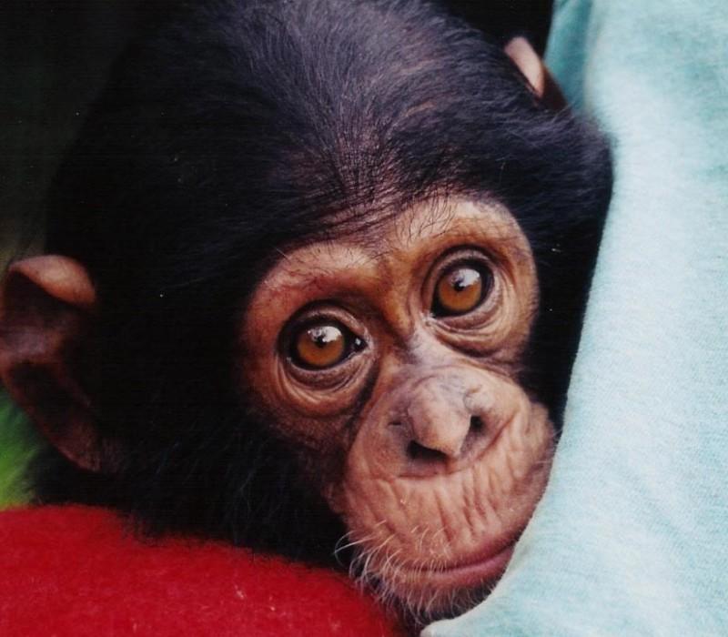 Las mejores FOTOS DE MONOS 【 Imágenes de simios Orangutan Y Chimpance
