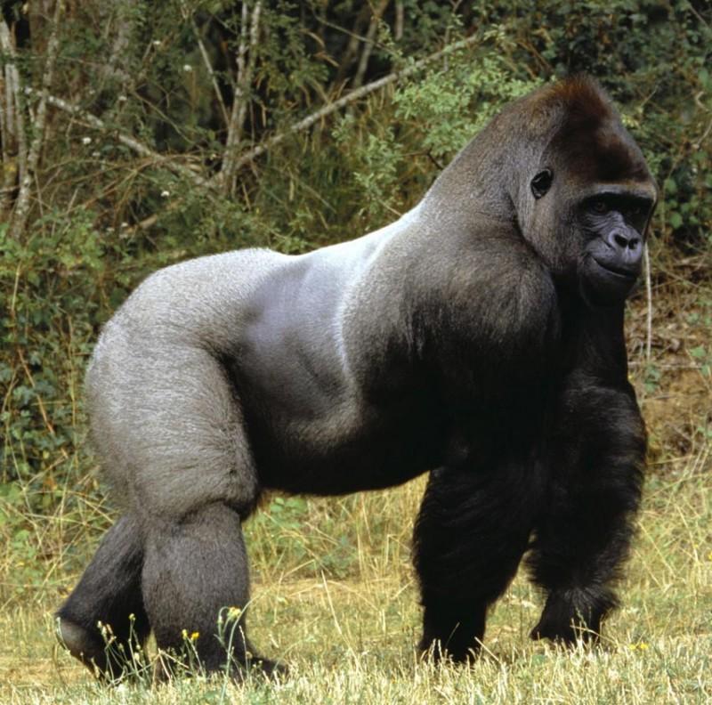 Fotos de gorilas y monos 63