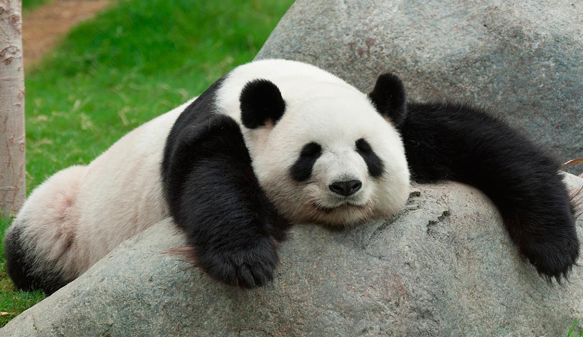 origen del oso panda 2