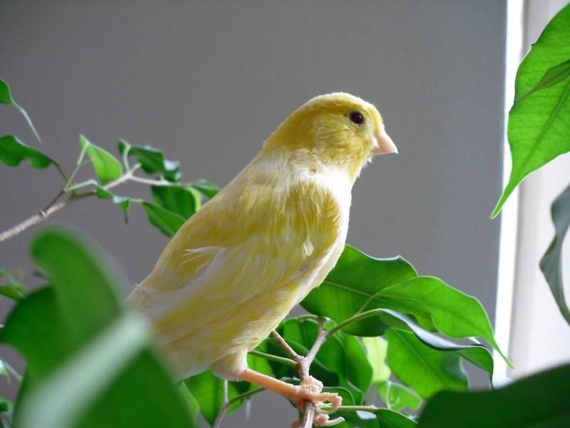 La alimentación del canario