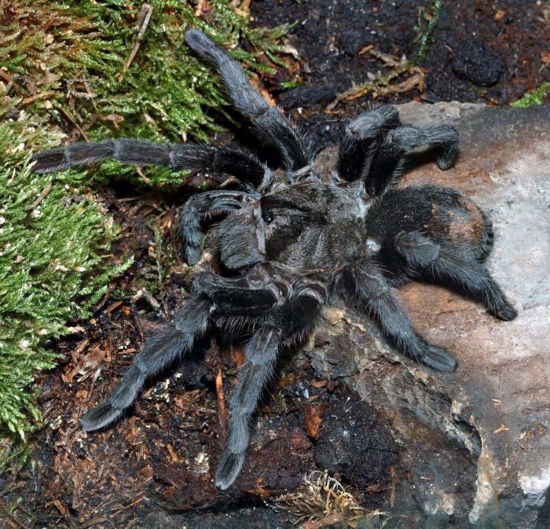 Tarántula Gigante Negra Colombiana