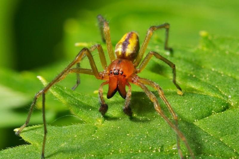 Araña de saco