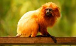 Tamarino león dorado