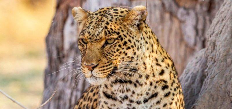 Leopardos africanos