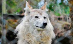 Lobo del Himalaya