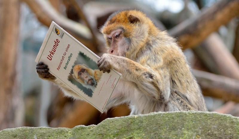 Los monos de Gibraltar en la actualidad