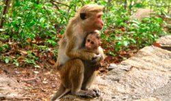 Macaco de Java