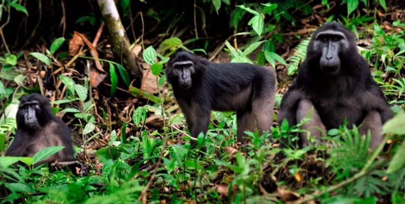 Macaco de Togian