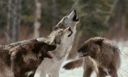 Manadas de lobos