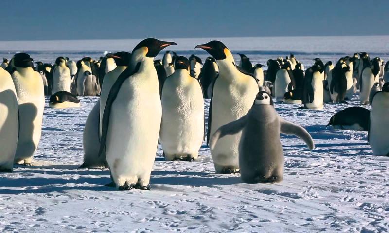 La marcha de los Pingüinos