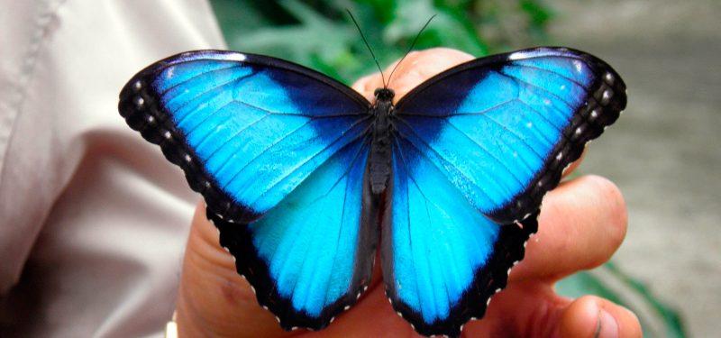 Mariposas Morpho azules