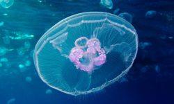 Medusas raras