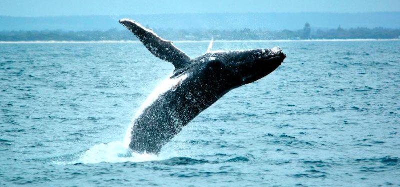 Migraciones de las ballenas