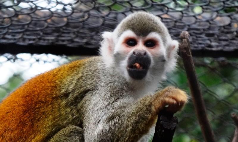 Mono ardilla común
