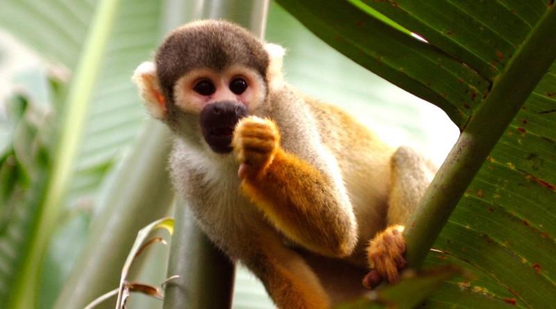 Mono ardilla de Vanzolini