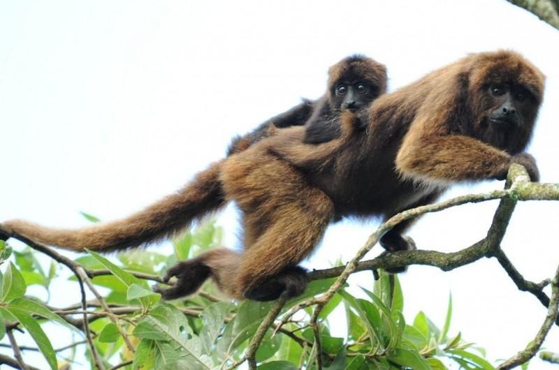 Cría de mono aullador rojo